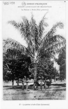 palmier à l'huile:http-:dmcarc.com:114-cartes-postales-du-congo-offertes-a-la-bnf-par-la-mission-catholique-de-brazzaville-en-1907-bon:67