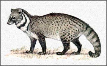 civet cat-blog-19967