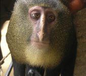 lomami-meerkatze-ma%cc%88nnl-wikipedia