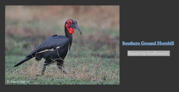 Bucorvus leadbeateri - Southern Ground Hornbill c Steve Garvic