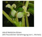 uni-goettingen.de:de:morphologie:walnuss-w.blüte